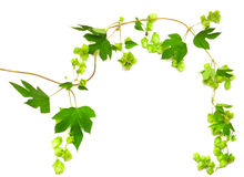 Hops plant twined vine Royalty Free Stock Images