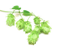 Hops plant twined vine Stock Photos