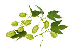 Hops plant twined vine Stock Image