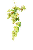 Hops plant twined vine Stock Photography