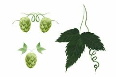 Hops plant watercolor painting Stock Photos