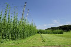 Hops Plantage #2, baden Lizenzfreie Stockfotos