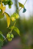 Hops Plantage Lizenzfreie Stockfotografie