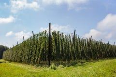 Hops Plantage Lizenzfreie Stockbilder