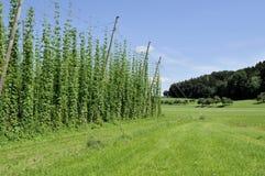 Hops Plantage #6, baden Lizenzfreie Stockfotografie