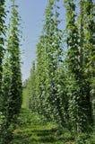 Hops Plantage #7, baden Stockfoto