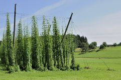 Hops Plantage #8, baden Stockfotos