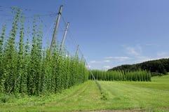 Hops plantation #2, baden Royalty Free Stock Photos