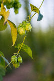 Hops plantation. Detail at sunset Royalty Free Stock Photography