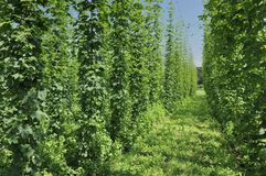 Hops plantation #4, baden Royalty Free Stock Image