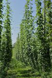 Hops plantation #7, baden Stock Photo