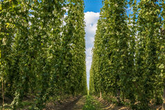 Hops plantation in Bavaria, Germany Stock Photography