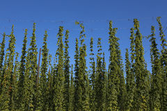 Hops Stock Photos