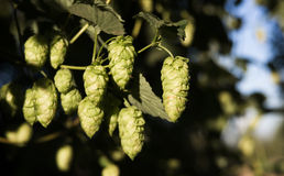 Hops Plants Buds Growing in Farmer's Field Oregon Agriculture Royalty Free Stock Photos