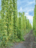Hops plants climbing of special supported strings. Stock Image
