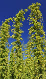 Hops Plants Royalty Free Stock Photo