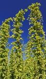Hops Plants Royalty Free Stock Photo