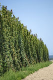 Hops ready for harvest Royalty Free Stock Photo
