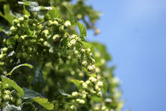 Hops ready for harvest Stock Photos