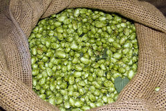 Hops in a sack. royalty free stock photography