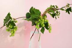 Hops - still life Stock Photo