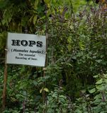 Hops to it. Hop plant stock photo