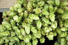 Hops umbels Stock Image