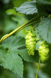 Hops Umbels Royalty Free Stock Photo