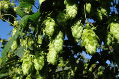 Hops on the vine. Details of hops growing and ripening on the vine.  Species:  Humulus lupulus Royalty Free Stock Images