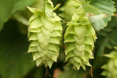Hops on a vine. Close up of hops growing on a vine Royalty Free Stock Photography