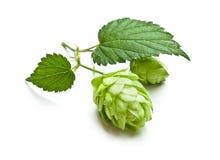 Hops stock photo