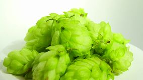 Hops on white stock footage