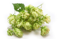 Hops on white Stock Photography