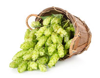 Hops in a wooden basket. Isolated on white background royalty free stock photos