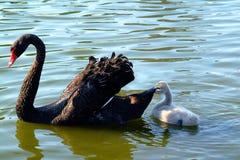 Hora calma para a cisne preta da matriz e o seu bebê imagens de stock