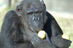 Hora de comer del chimpancé. Foto de archivo