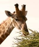 Hora de comer para una jirafa africana Fotografía de archivo