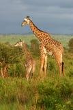 Hora de la comida de la familia de la jirafa Fotos de archivo libres de regalías