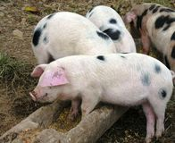 Hora de la comida de los cerdos Imágenes de archivo libres de regalías