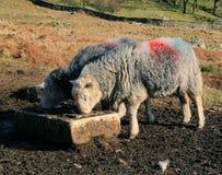 Hora de la comida para las ovejas Foto de archivo libre de regalías