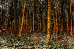 Hora de oro a través de árboles en la madera de Whitwell Foto de archivo