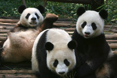 Hora del recreo de la panda Fotos de archivo libres de regalías