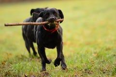 Hora del recreo de Labradors Imágenes de archivo libres de regalías