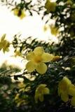 Hora dourada Bell amarela Fotografia de Stock Royalty Free