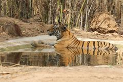 Hora para Tiger For Rest Fotos de Stock