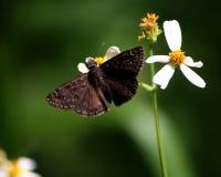 Horace& x27; s Duskywing Vlinder die Spaanse Naaldenbloemen bestuiven royalty-vrije stock foto