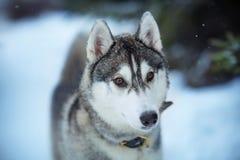 Horaire d'hiver hasky de chien Images stock
