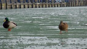 Horaire d'hiver sur la glace marchant les canards banque de vidéos