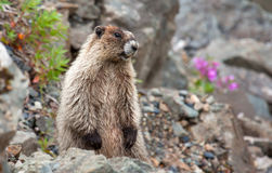Horay Marmot Images stock