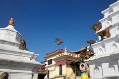Hord av apor som hoppar mellan religiösa byggnader royaltyfri bild